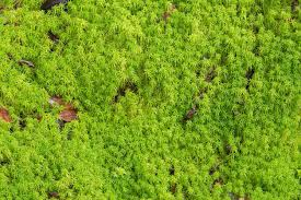 sphagnum moss vs sphagnum peat moss are sphagnum moss and peat moss the same