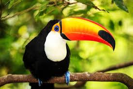 Toucan  jpg World Animal Foundation