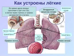 Презентация по окружающему миру на тему Дыхательная система  слайда 6 Как устроены лёгкие Просвет бронха Правый бронх Правое легкое Воздушные мешоч