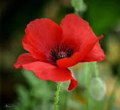 Image result for picture of poppy flower