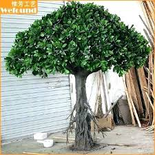 outdoor ficus tree leaf drop small indoor for home decoration diseases