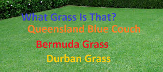 Grass Couch What Grass Is That Queensland Blue Couch Couch Grass Bermuda