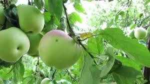 green apple fruit tree. green apples on the branch. tree. branch with apple fruit tree ,