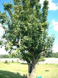 Moonglow Pear Pollination Chart Ayers Pear Tree N Lapergola Info