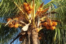 Trees  Which Two Fruits Grow On Palm TreesPalm Tree Orange Fruit