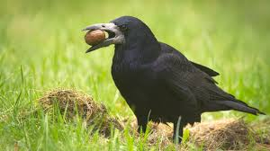 Crow Vending Machine Plans Mesmerizing French Theme Park Employs Trained Birds To Pick Up Cigarette Butts