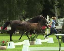 cellestial stute von cellestial pferd 1 video stammbaum rimondo