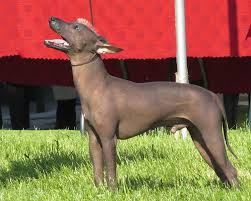 Are Xoloitzcuintles Dogs Hypoallergenic? — The Honest Truth! |  Hypoallergenic Dog