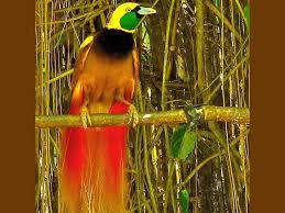 Download now mewarnai sketsa gambar burung cendrawasih yang mudah terbaru. Burung Cantik Burung Cendrawasih Hewan Burung Hd Seni Gambar Cantik Cendrawasih Wallpaper Hd Wallpaperbetter