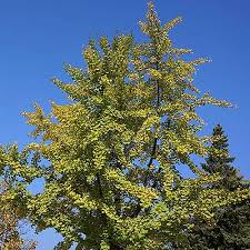 Gingko biloba - Maidenhair Tree | YouGarden