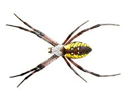 Spider Identification Ehrlich Pest Control