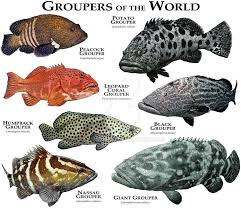 Grouper Species Chart Groupers Of The World By Rogerdhall On Deviantart Grouper