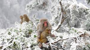 Animals Nature Japan Winter Apes Snow Cold Wallpapers