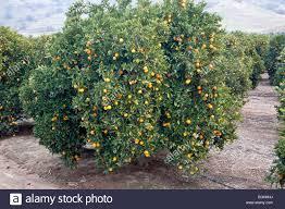 Orange U0027Valenciau0027 Tree Bearing Fruit Stock Photo Royalty Free Tree Bearing Fruit