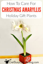 amaryllis is a por holiday gift plant it doesn t matter if you