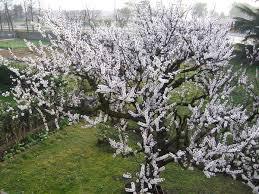 Prunus armeniaca - Wikipedia