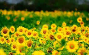 sunflower wallpaper photo