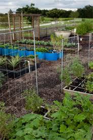 florida vegetable gardening. Photo: UF/IFAS. Are You Growing A Spring Vegetable Florida Gardening N