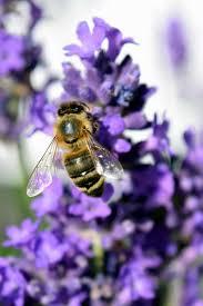 """Résultat de recherche d'images pour """"insecte pollinisateur abeille"""""""