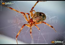 Usa Spider Bite Chart American House Spider