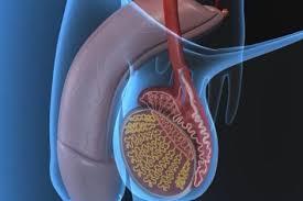Resultado de imagen de testiculos- adecuada alimentacion