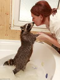 Raccoon Classification Chart Meet The Family Of 24 That S 2 Adults 2 Children And