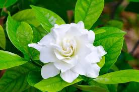 gardenia flowers gardenias common gardenia gardenia blossom gardenia flowers gardenia