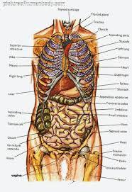 42 Prototypic Body Organ Anatomy Chart