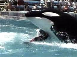 tilikum attack footage dawn. Perfect Footage N_whale_attack_040727300w The Footage Of U201cTilikumu201d Drowning Trainer Dawn   To Tilikum Attack Footage M