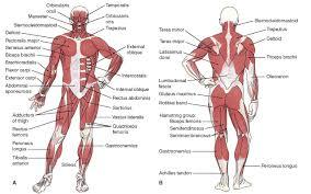Human Body Muscle System – slushtokyo.info