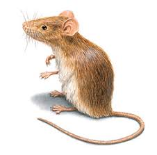 Rodents Lower Classifications Rodents Facts Identification Control Prevention