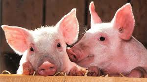 5 reasons <b>pigs</b> make awesome pets | Explore | Awesome Activities ...