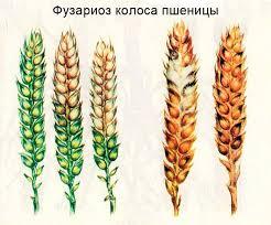 Болезни пшеницы ru Фузариоз колоса пшеницы пораженные в различной степени колосья слева здоровый колос