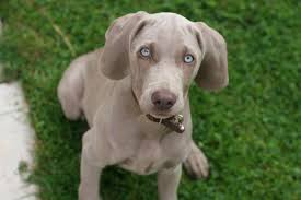 as puppies weimaraners have light blue eyes but they don t stay that way for long as they grow up the dogs eyes turn either amber or a gray blue color