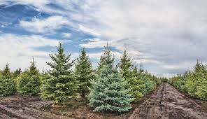 Christmas Tree Farms In Pennsylvania And New Jersey  Be Well PhillyChristmas Tree Cutting Nj