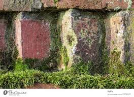 moss on an old brick wall a royalty
