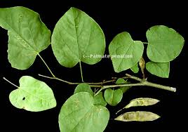 parallel venation is mon to monocot leaves and the veins are usually of equal size and parallel with one another