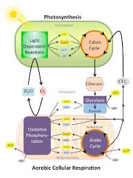 a detailed image of the relationship between photosynthesis and aerobic cellular respiration