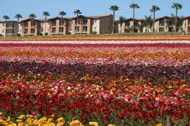 photo of the flower fields at carlsbad ca