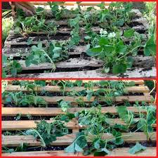 plant strawberries