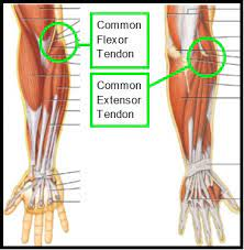 Tendons are the connective tissues that connect muscle to bone. I Wear A Brace But It Still Hurts Part 3 The Elbow Return To Play Elite