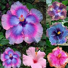 hibiscus flowers gemini_mall mixed giant hibiscus seeds potted plant perennial