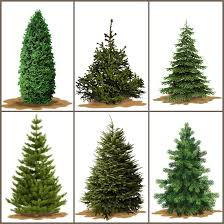 Know The Christmas Tree Types In Northwest ArkansasTypes Of Fir Christmas Trees