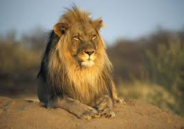 Male Lion, Namibia - photo by Leo Palmer in 2020   Animals wild, Male lion,  Wild cats