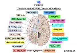 The Facial Nerve Cn Vii Cranial Nerves Anatomy Geeky