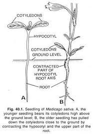 essay on stem origin and transition with root  botany seedling of medicago sativa