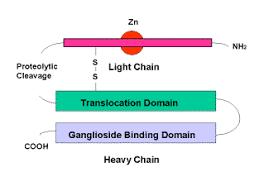 tetanus toxin tetanus toxin c fragment