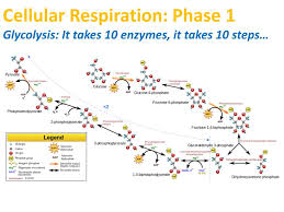 Ppt Cellular Respiration Phase 1 Glycolysis It Takes 10 Enzymes