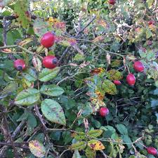 Hedgerows Hashtag On TwitterFruit Tree Hedgerow