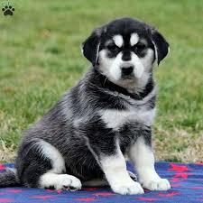 goberian puppies greenfield